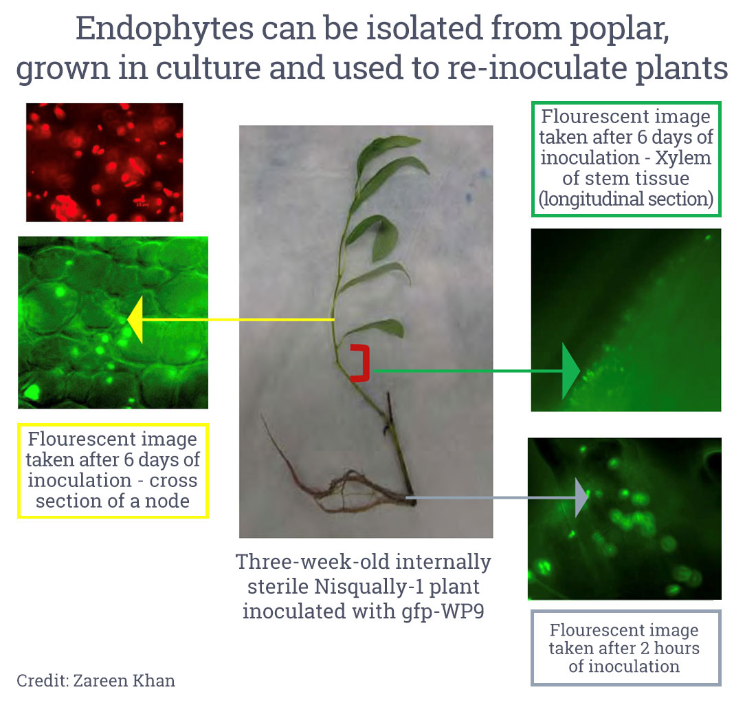 Endophytes can be isolated from poplar, grown in culture, and used to re-inoculate plants