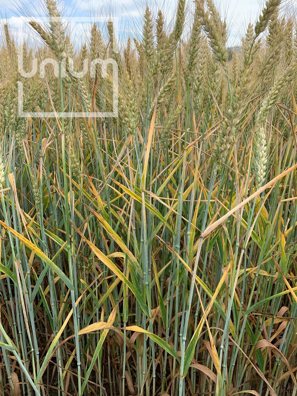 Wheat Unium Biostimulant