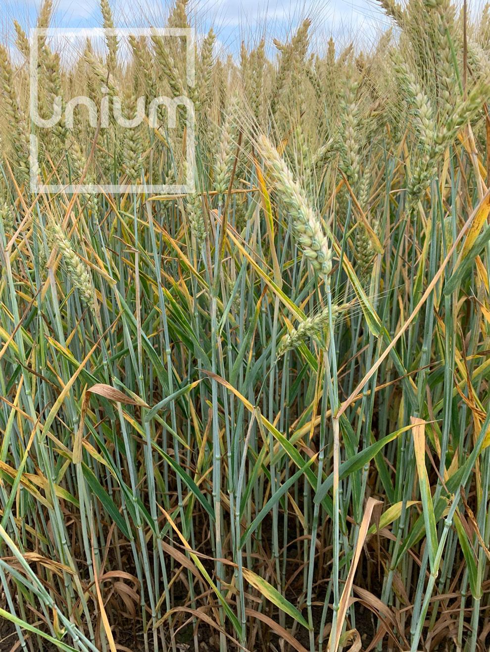 Wheat TIROS