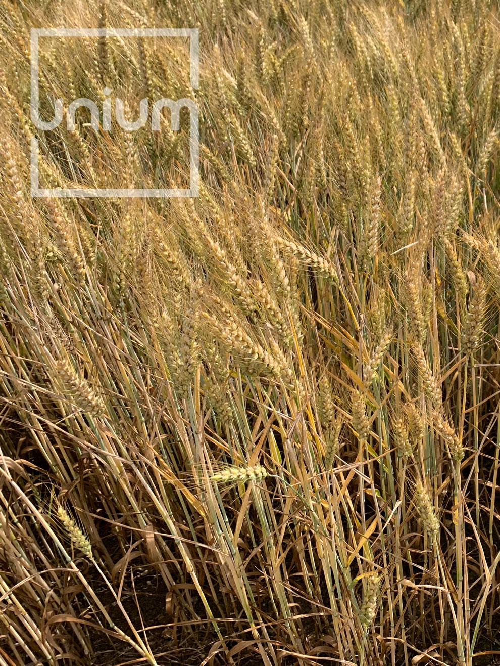 Wheat Untreated