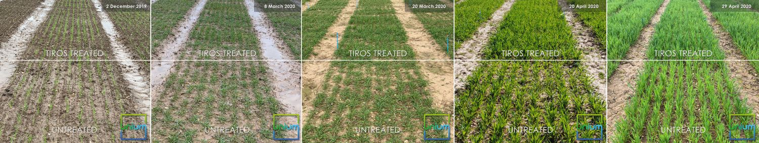 Untreated Vs Tiros Treated