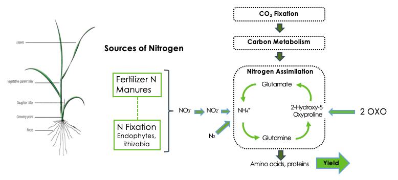 Sources of Nitrogen 2 Oxoglutaramate