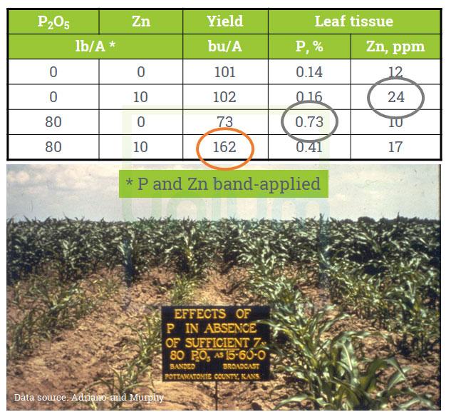 The Antagonism between phosphorus and Zinc