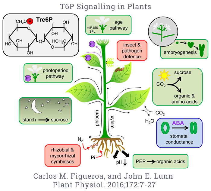 Tre6P signaling in plants
