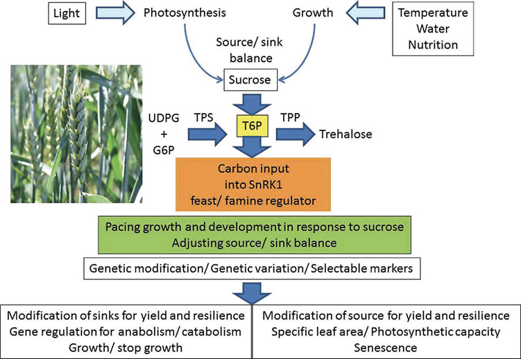 Optimising sucrose allocation for yield under variable environmental conditions