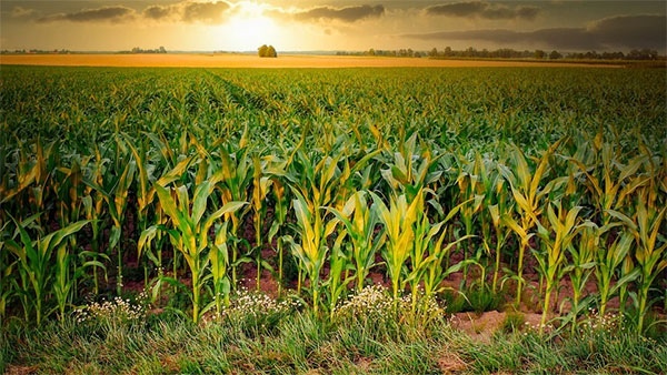 Amaizing Maize