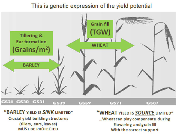 Winter Barley Genetic Expression of the Yield Potential