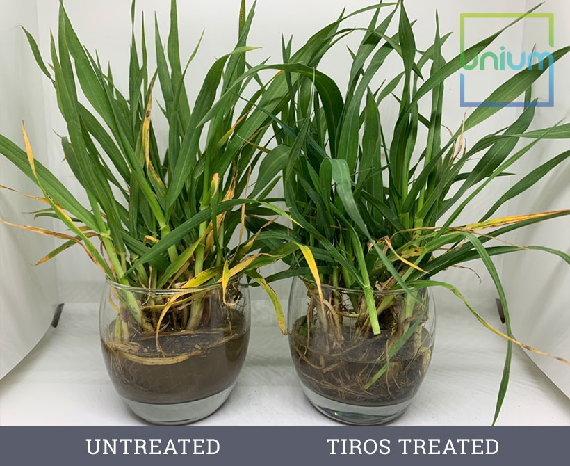 Winter Barley Vs Tiros