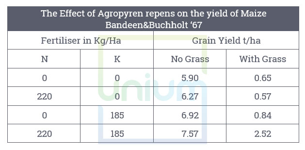 Effect of Agropyren repens on the yield of Maize