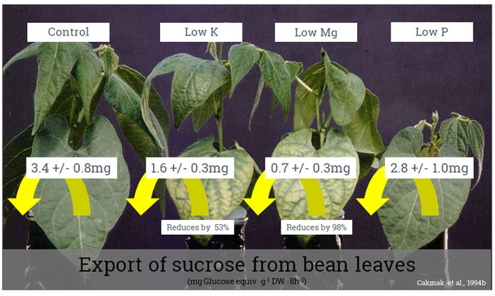 Export of sucrose from bean leaves