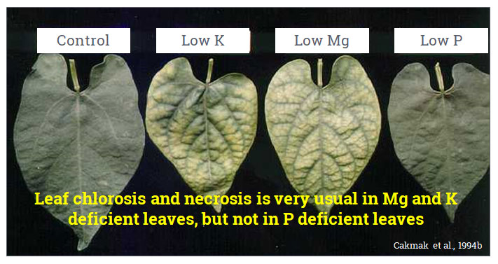 Leaf chlorosis and necrosis is very usual in Mg and K deficient leaves, but not in P deficient leaves