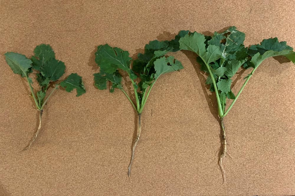 Unium Oilseed Rape Trials Round up 2020