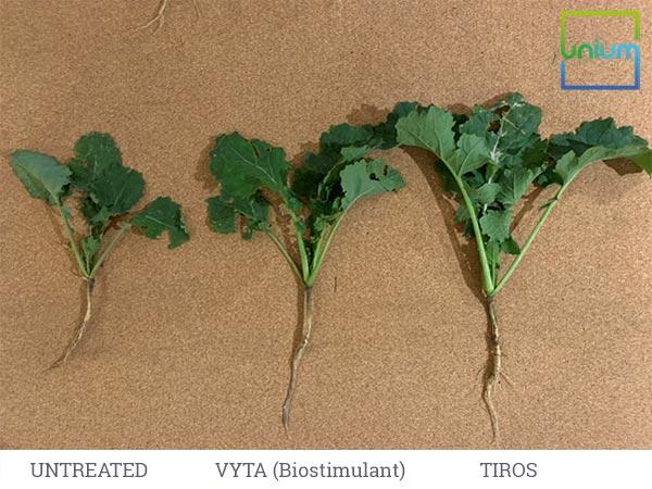 OSR Untreated vs Vyta Biostimulant vs Tiros