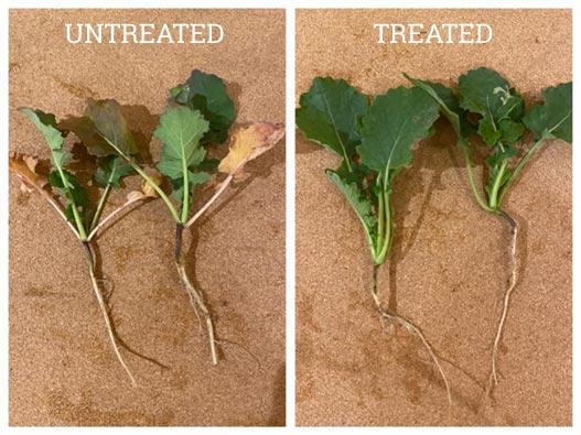 OSR Root Exudates Treated vs Untreated TIROS