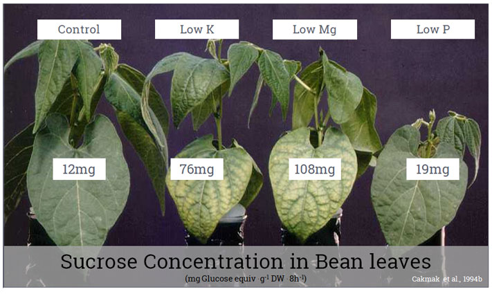 Sucrose Concentration in Bean leaves