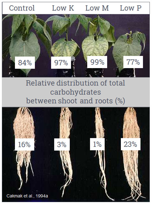 Relative distribution of total carbohydrates between shoot and roots (%)
